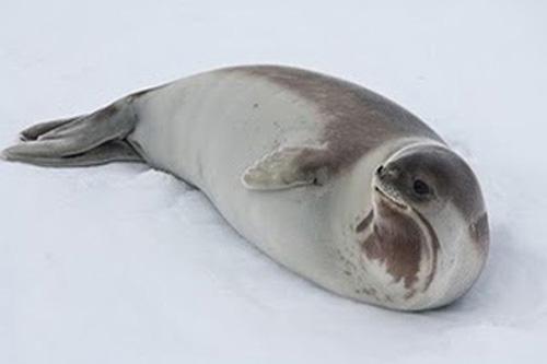 Тюлень Росса