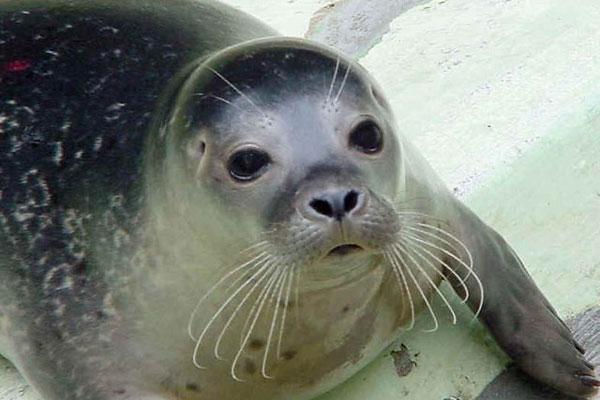 Тюлень монах