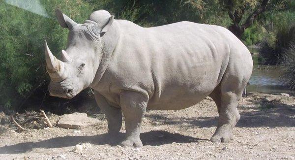 Білий носоріг