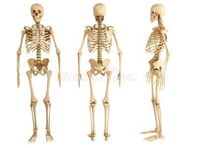 людський скелет