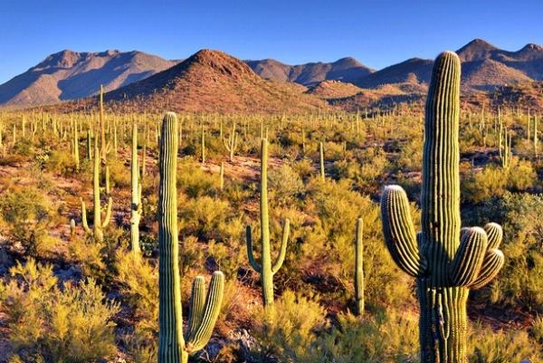 кактуси у пустелі