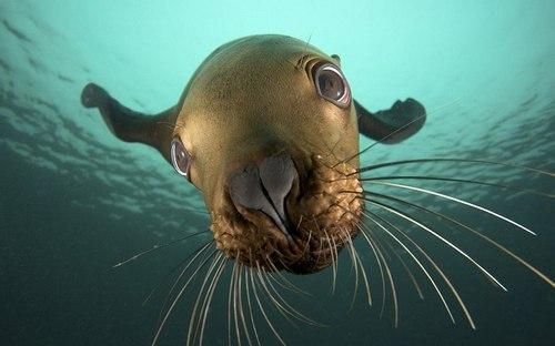 морда тюленя