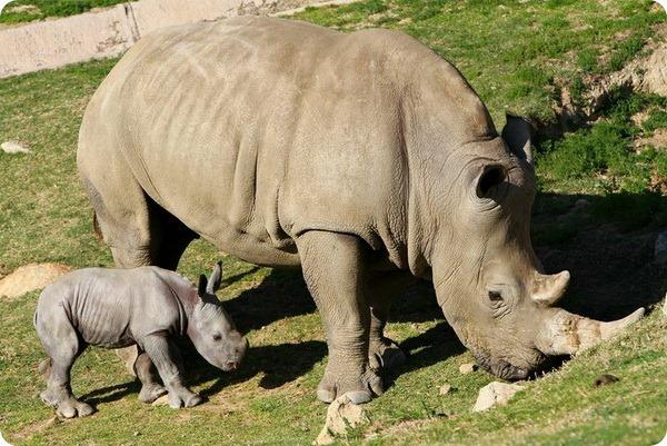 носорог с мамой