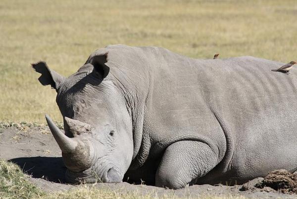 носоріг спить