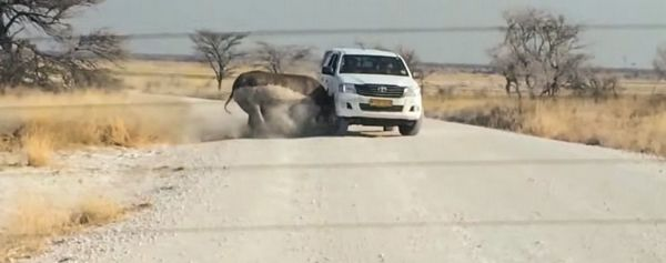 носоріг таранить автомобіль