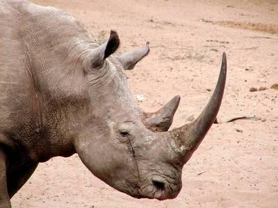 ріг білого носорога
