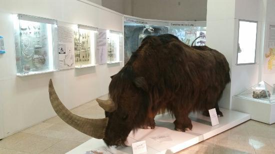 шерстистий носоріг