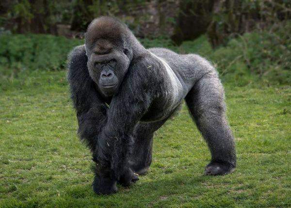 Східна горила