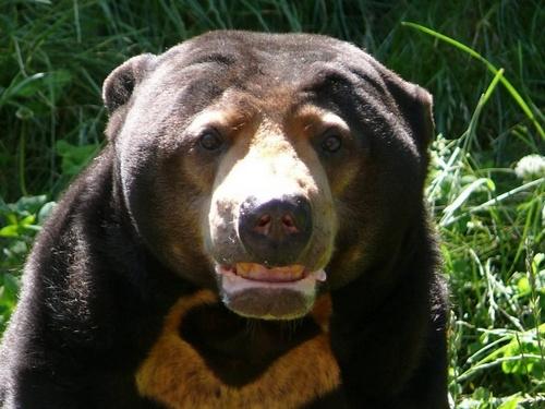 Малайський ведмідь