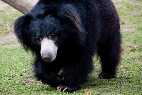 Ведмідь губач