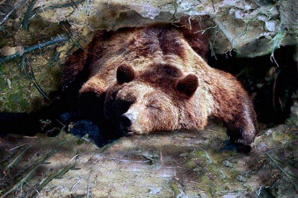 ведмідь у барлозі