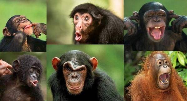 міміка мавп