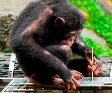 Шимпанзе звичайний
