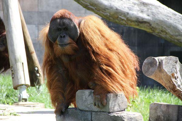 Суматранський орангутанг