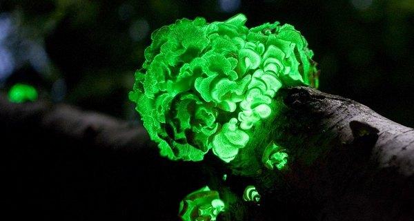 биолюминесценция растений