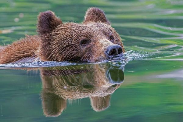 ведмідь пливе