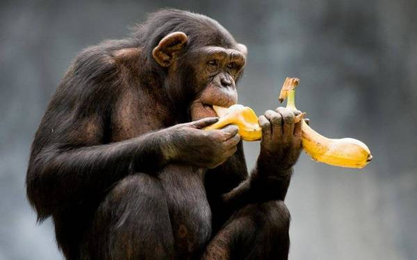 мавпа їсть банан