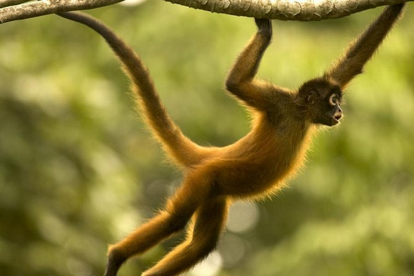 обезьяна с хвостом