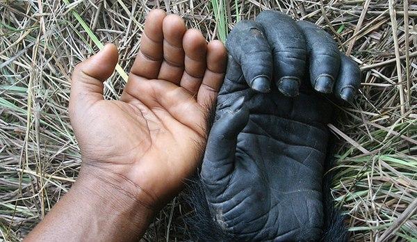 рука обезьяны