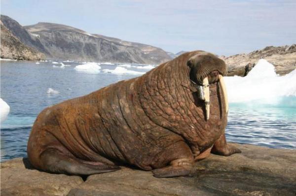 Атлантичний морж