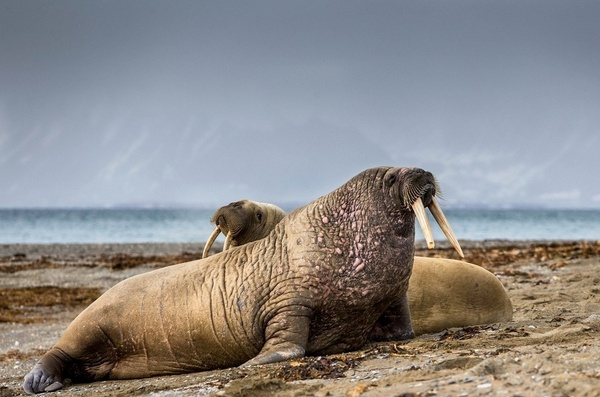 Тихоокеанський морж