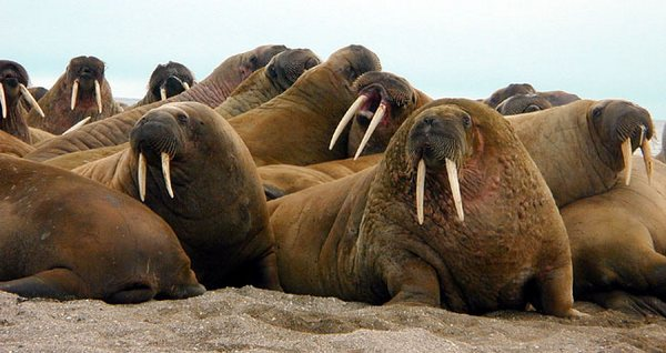 лежбище моржів