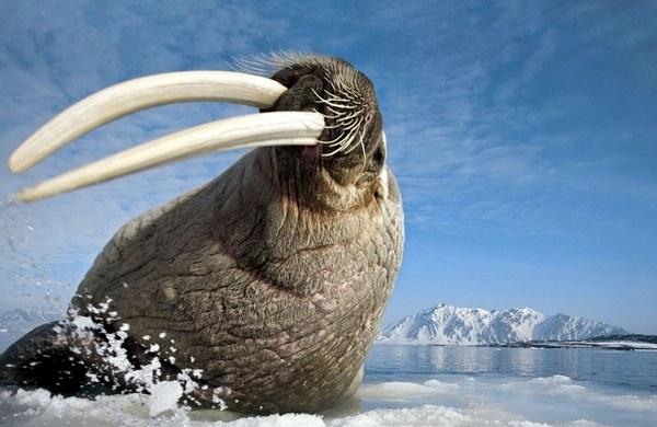 морж на охоте