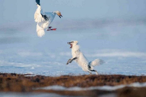 песец на охоте
