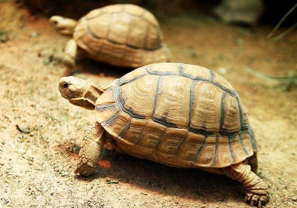 Єгипетська черепаха
