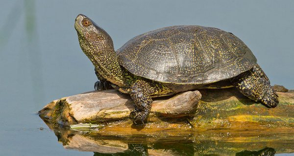 Європейська болотна черепаха