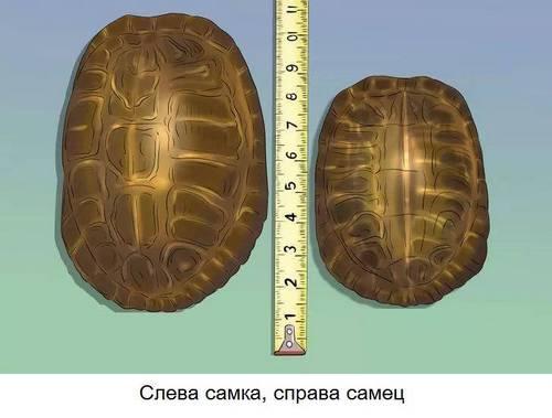Панцир черепах