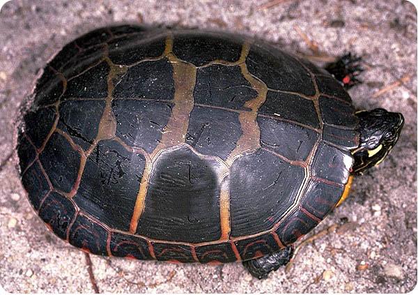 Розписна черепаха