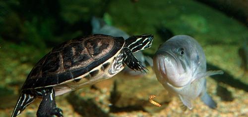 черепаха в акваріумі