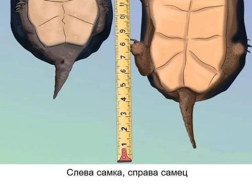 хвіст черепахи