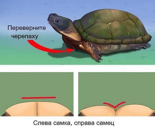 пластрон черепахи