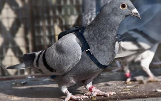 бельгійський поштовий голуб