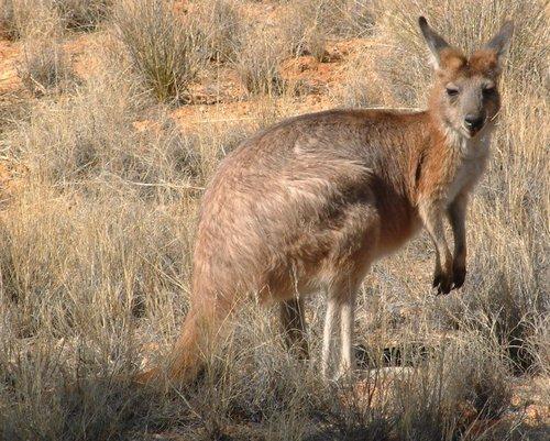 Горный кенгуру