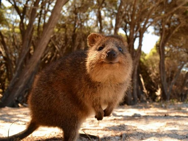 Короткохвостый кенгуру