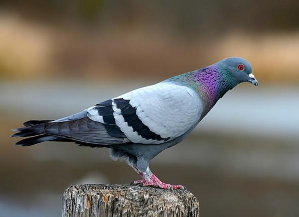 Сизий голуб
