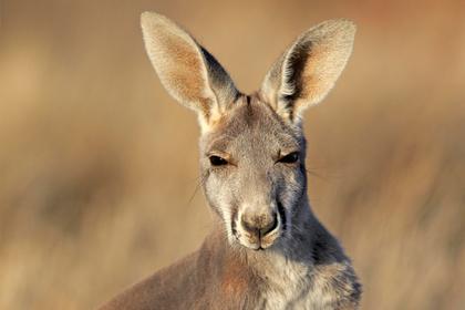 голова кенгуру