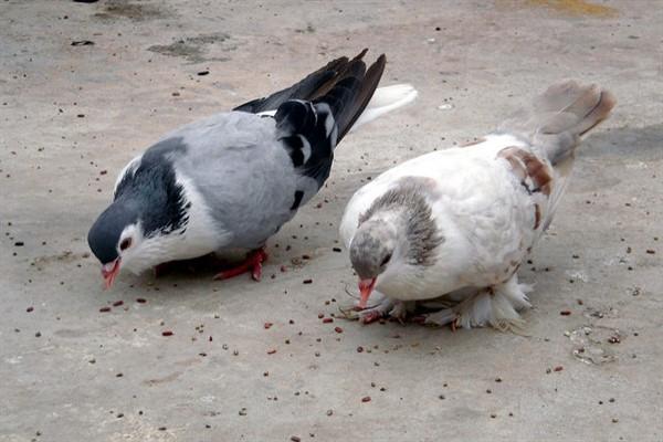 голуби едят