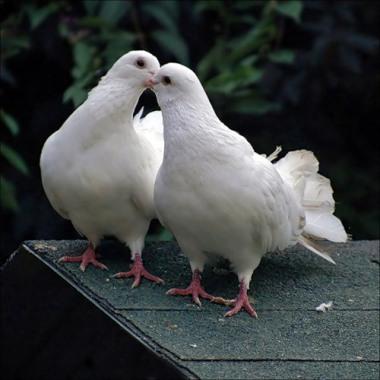 голуби цілуються