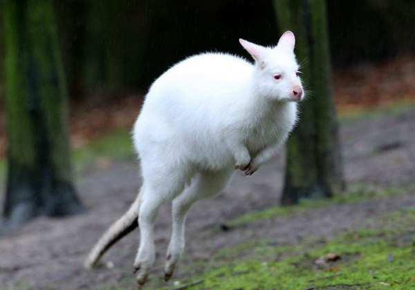 кенгуру альбинос