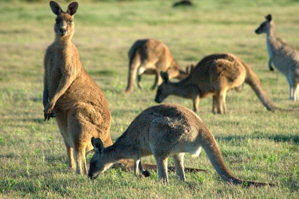 кенгуру ест
