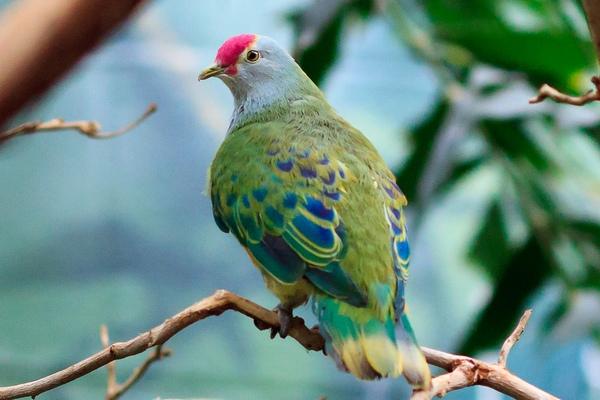 строкатий голуб