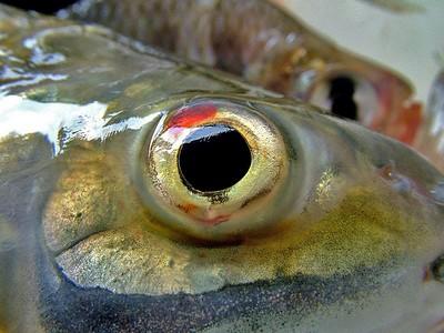 око риби