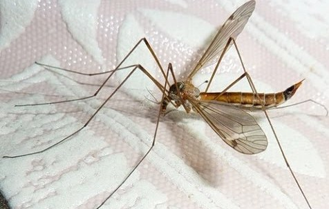 Комар долгоножка