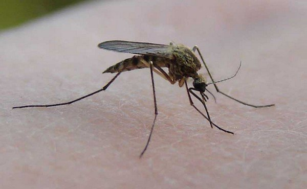 Комар звичайний