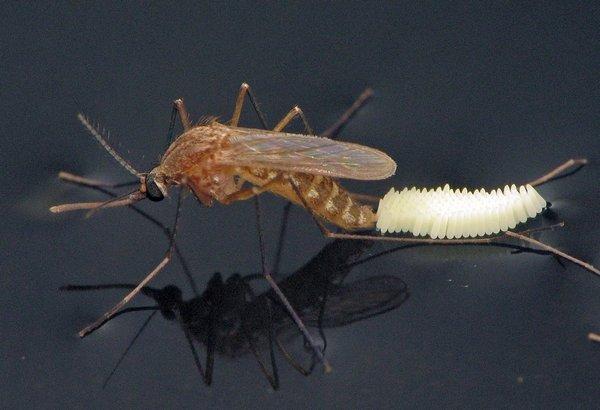 яйця комара