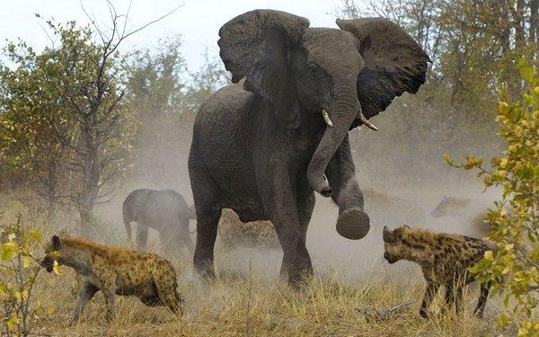 Бігучий слон